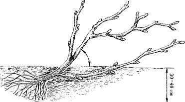 Наклон при посадке смородины