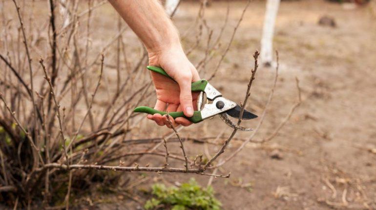 Обрезать или нет при посадке куст смородины