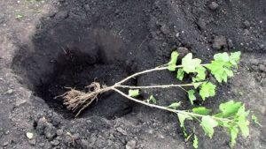 выбор места посадки куста чёрной смородины