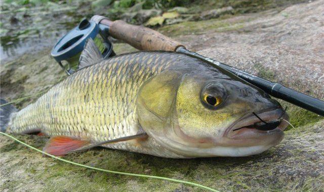 Рыбалка на голавля нахлыстом.