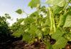 фасоль выращивание
