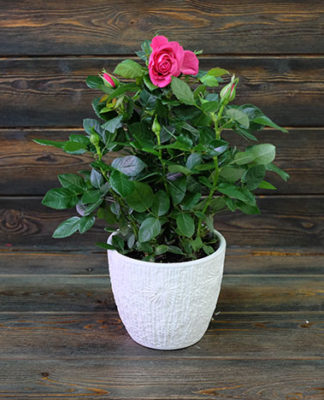 фото розы патио