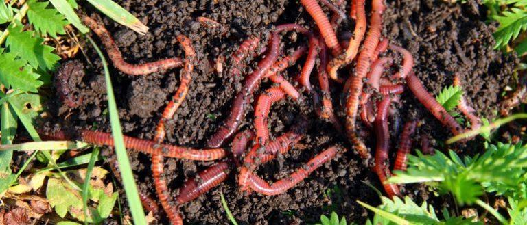Разведение калифорнийского червя на своём участке