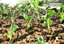 Схема посадки фасоли