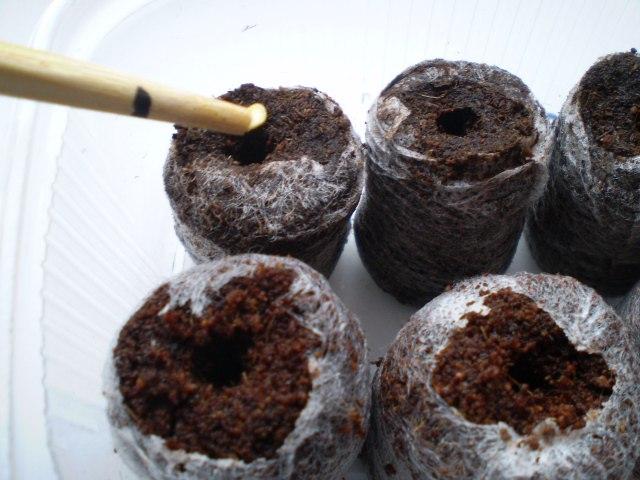 выращивание колеуса в торфяных таблетках