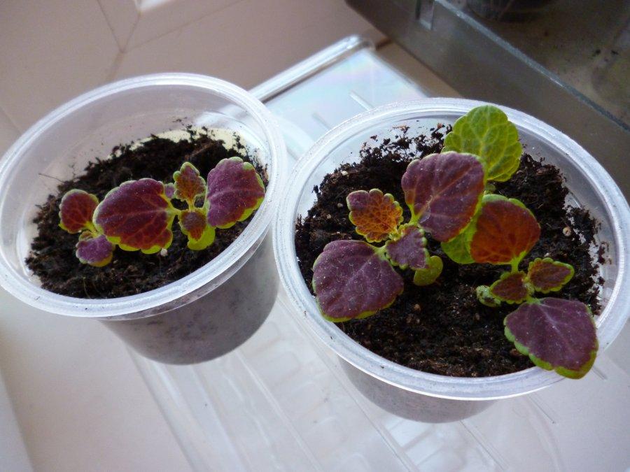 выращивание колеуса семенами