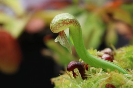 Дарлингтония выращивание