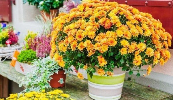 хризантема дома