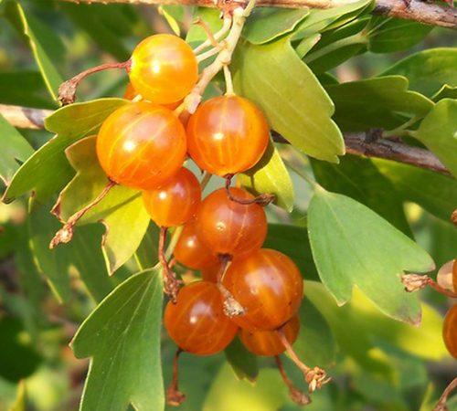 ягоды золотистой смородины фото
