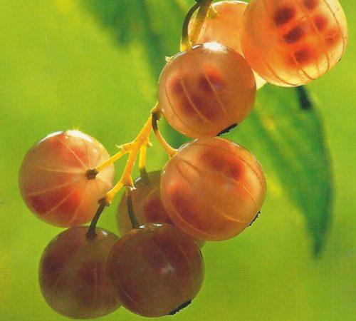 плоды золотистой смородины