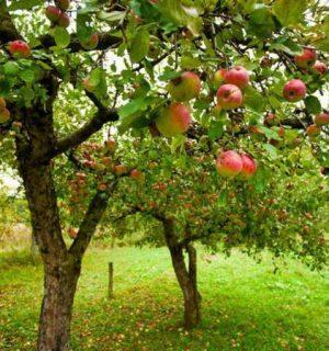 Всё о яблоне
