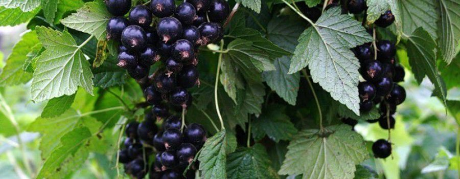 Как посадить куст чёрной смородины осенью