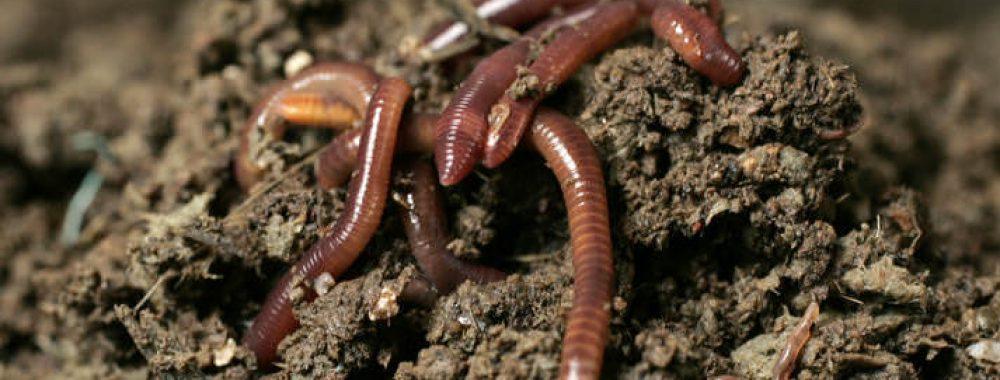 Как разводить навозного червя в домашних условиях