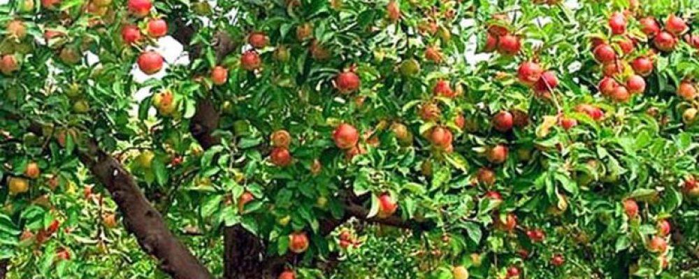 плодоношение яблок